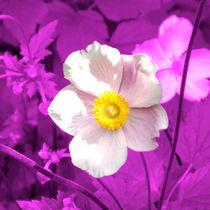 Rosa Blüte von Herbst-Anemone auf Lila by lorenzo-fp