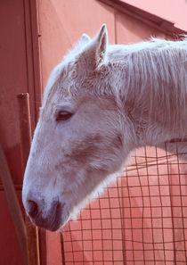 Weißer Pferdekopf von Gina Koch