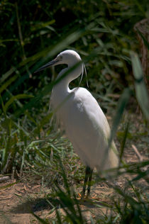 Hidden Egret by linconnu