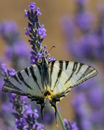 Lavender forager by linconnu