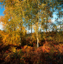 Autumn forest in the Ardennes by Intensivelight Panorama-Edition