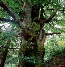 Old beech tree by Intensivelight Panorama-Edition
