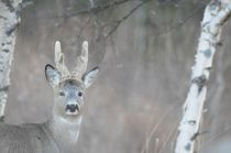 Portrait of a roe buck by Intensivelight Panorama-Edition