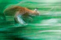 Running lynx von Intensivelight Panorama-Edition