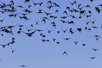 A swarm of Jackdaws by Intensivelight Panorama-Edition