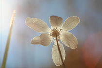 Petals of a Wood anemone illuminated by sunlight by Intensivelight Panorama-Edition