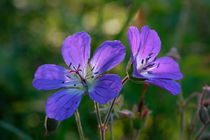 Woodland geranium von Intensivelight Panorama-Edition