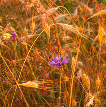 Cornflower in a barley field by Intensivelight Panorama-Edition