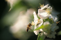 Bee flying to an apple blossom von Intensivelight Panorama-Edition