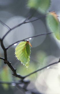 Beech leaves after spring rain by Intensivelight Panorama-Edition