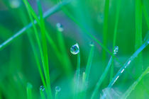 Dew drops on blades of grass by Intensivelight Panorama-Edition