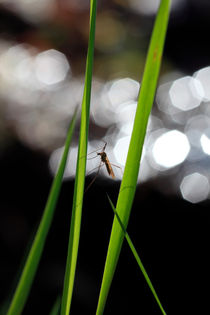 Gnat sitting on grass blades by Intensivelight Panorama-Edition