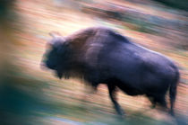 Running bison von Intensivelight Panorama-Edition