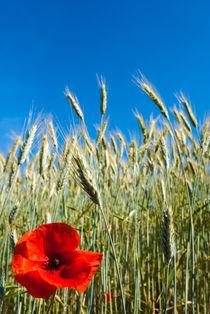 Corn poppy in the corn field - Klatschmohn im Kornfeld by Ralf Rosendahl