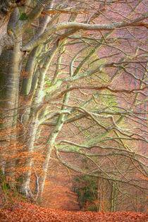 Beech Forest von Gina Koch