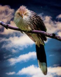 Brazilian Guira Cuckoo II by Chris Lord