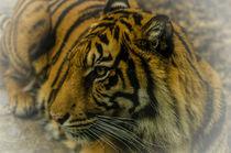 Tiger von Gerhard Butke