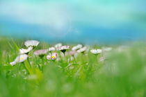 Small daisy field by Dora Bralo