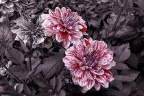 Dahlien auf Violett von lorenzo-fp