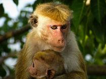 Macaque with baby by Inez Wijker