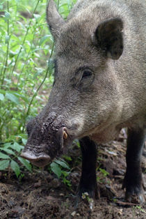 Portrait of a wild hog by Intensivelight Panorama-Edition