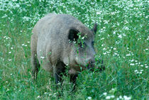 Wild hog between flowers von Intensivelight Panorama-Edition