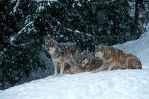 Wolves in the snow by Intensivelight Panorama-Edition