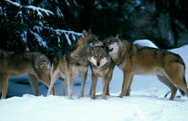 Wolves cuddling in a snowy forest von Intensivelight Panorama-Edition