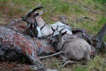 Dozing goats von Intensivelight Panorama-Edition