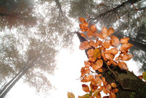Foggy autumn beech forest von Intensivelight Panorama-Edition