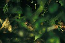 Lynx kitten behind a bush von Intensivelight Panorama-Edition