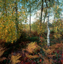 Autumn forest with birches and fern von Intensivelight Panorama-Edition