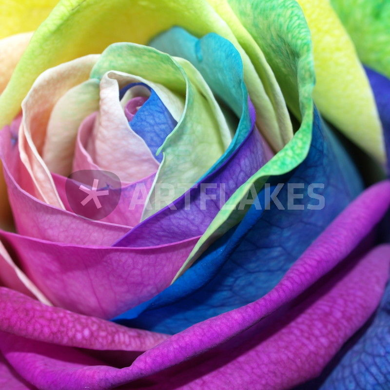 rose rosenbl te bunte rose multi colored fotografie als poster und kunstdruck von. Black Bedroom Furniture Sets. Home Design Ideas