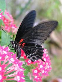 Schmetterling auf rosa Blüten (butterfly and pink flowers) von Dagmar Laimgruber