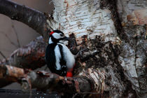 Great Spotted Woodpecker by Intensivelight Panorama-Edition