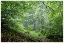 Forest light von Diana Canzano
