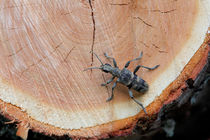 Long-horned beetle on a log by Intensivelight Panorama-Edition