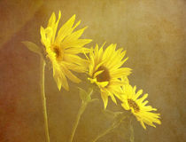 sunflower trio by Franziska Rullert