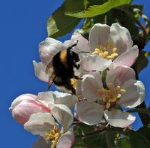 Bumble Bee on Apple Blossom by John McCoubrey