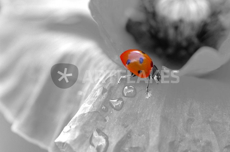 schwarz wei e mohnblume mit rotem marienk fer fotografie als poster und kunstdruck von tanja. Black Bedroom Furniture Sets. Home Design Ideas