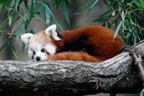 'red panda' von NINA PETERKA