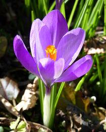 Spring Crocus by John McCoubrey