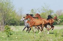 Herd of arabian horses von Tamara Didenko