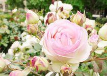 pale rose by karumen