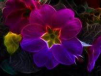 Primula Rainbow von Fiona Messenger
