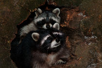 Two raccoons von Intensivelight Panorama-Edition