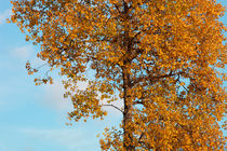 Autumn birch by Intensivelight Panorama-Edition