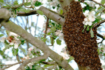 Swarming bees von Intensivelight Panorama-Edition