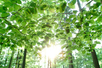 Sun shining through leaves von Intensivelight Panorama-Edition