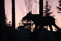 Moose at sunset by Intensivelight Panorama-Edition